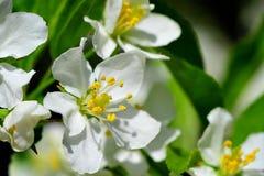 Frühlingsblüten Stockfoto
