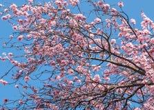 Frühlingsblüten Lizenzfreies Stockfoto