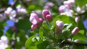 Frühlingsblüten im Garten stock video footage