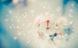 Frühlingsblüten-Naturhintergrund mit weißen Blumen am Pastellblau Stockfoto