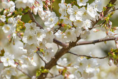 Frühlingsblütenweiß auf Niederlassung Lizenzfreies Stockbild