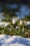 Frühlingsblume Stockbild