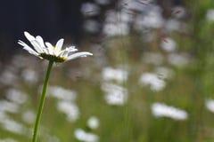 Frühlingsblume lizenzfreie stockfotos