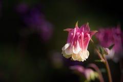 Frühlingsblume Aquilegia Stockfotografie