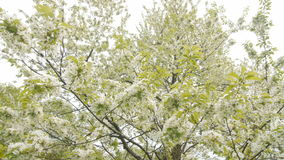Frühlingsblume auf großem Kirschbaum stock video