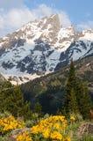 Frühlingsblume, die in den großartigen teton Bergen blüht Stockfotos