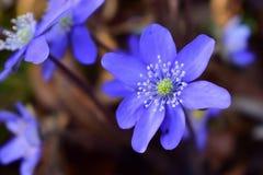Frühlingsblume, die im Wald blüht Lizenzfreies Stockfoto
