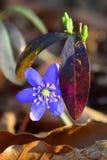Frühlingsblume, die im Wald unter alten verblaßten Blättern blüht Lizenzfreie Stockbilder