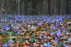 Frühlingsblume, die im Wald unter alten verblaßten Blättern blüht Stockfotografie