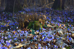 Frühlingsblume, die im Wald unter Bäumen blüht Stockfoto