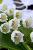 Frühlingsblume eine Lilie des Tales Lizenzfreie Stockfotografie
