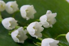 Frühlingsblume eine Lilie des Tales Stockfoto