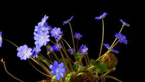 Frühlingsblume Hepatica-Blüten, Zeitversehen stock footage