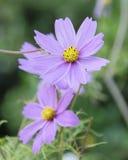 Frühlingsblume in St.-jameses Park Lizenzfreies Stockbild
