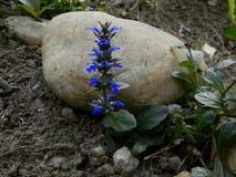 Frühlingsblumen, Ajuga reptans, Signalhorn Stockfotos