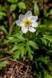 Frühlingsblumen, Anemone Stockbilder