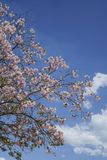 Frühlingsblumen auf Baum gegen blauen Himmel Lizenzfreies Stockbild