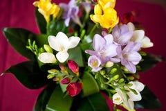 Frühlingsblumen, bunte Freesien im Frühjahr Lizenzfreie Stockfotografie