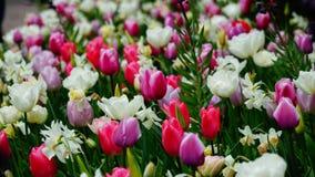 Frühlingsblumen: bunte Tulpen stockfotos