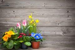 Frühlingsblumen in den Töpfen auf hölzernem Hintergrund
