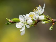 Frühlingsblumen der Pflaume Stockbild
