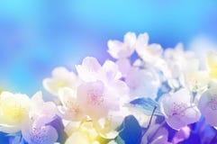 Frühlingsblumen der Vogelkirsche in den Sonnenstrahlen, getontes Bild Lizenzfreie Stockbilder