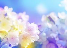 Frühlingsblumen der Vogelkirsche in den Sonnenstrahlen, getontes Bild Stockfoto
