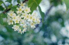 Frühlingsblumen der Vogelkirsche für Hintergrund Stockbild