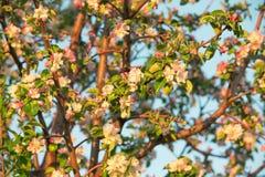 Frühlingsblumen des Apfels Stockfoto