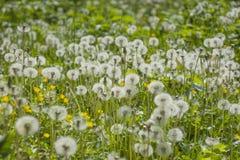 Frühlingsblumen des Löwenzahns field Lizenzfreie Stockbilder