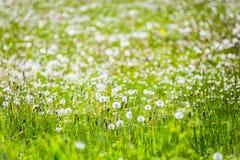 Frühlingsblumen des Löwenzahns field Stockfotos