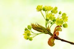 Frühlingsblumen des Norwegen-Ahornbaums, Acer-platanoides, wieder Lizenzfreie Stockfotos