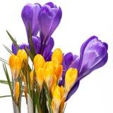Frühlingsblumen des violetten und gelben Krokusses lokalisiert auf weißem Hintergrund Lizenzfreie Stockfotografie