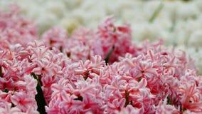 Frühlingsblumen: ein Abschluss oben der weichen rosa Hyazinthe mit unscharfer weißer Hyazinthe im Hintergrund Stockbilder