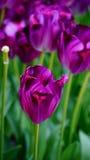 Frühlingsblumen: ein Abschluss oben einer hellen purpurroten Tulpe mit anderen Tulpen im grünen Hintergrund Stockbild