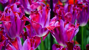 Frühlingsblumen: ein Abschluss oben einer hellen purpurroten Tulpe mit anderen Tulpen im grünen Hintergrund stockbilder