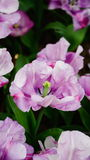 Frühlingsblumen: ein Abschluss oben einer hellen purpurroten Tulpe mit anderen Tulpen im grünen Hintergrund Lizenzfreie Stockfotografie