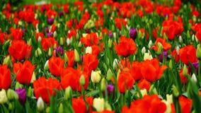 Frühlingsblumen: ein Abschluss oben einer hellen roten Jahreszeit der Tulpe im Frühjahr Stockbild