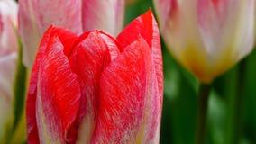 Frühlingsblumen: ein Abschluss oben hellen Lachse/der roten Tulpe mit anderen Tulpen im grünen Hintergrund lizenzfreie stockbilder