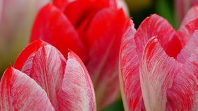 Frühlingsblumen: ein Abschluss oben hellen Lachse/der roten Tulpe mit anderen Tulpen im grünen Hintergrund stockbilder