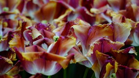 Frühlingsblumen: ein Abschluss oben von colouful Tulpen mit einzigartigen Beschaffenheits- und Farbkontrasten lizenzfreies stockbild