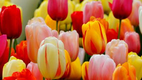 Frühlingsblumen: ein Abschluss oben von helle bunte Tulpen würzen im Frühjahr Stockbild