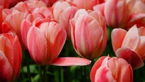 Frühlingsblumen: ein Abschluss oben von Lachsrosatulpen in Keukenhof-Garten, die Niederlande Stockbilder