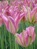 Frühlingsblumen: ein Abschluss oben von magentaroten rosa Tulpen mit spitzen Enden auf einem grünen Hintergrund Stockbilder