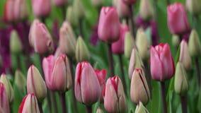 Frühlingsblumen: ein Abschluss oben von rosa Tulpen lizenzfreie stockfotos