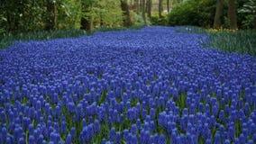 Frühlingsblumen: ein Teppich der blauen Muscariblume in Form eines Flusses zwischen den Bäumen lizenzfreies stockfoto