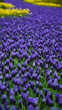 Frühlingsblumen: ein Teppich der blauen Muscariblume in Form eines Flusses zwischen den Bäumen Stockbild