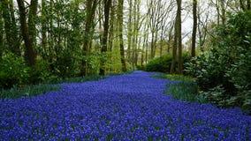 Frühlingsblumen: ein Teppich der blauen Muscariblume in Form eines Flusses zwischen den Bäumen stockfoto