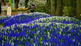 Frühlingsblumen: ein Teppich des weißen und blauen Muscari blüht stockfoto