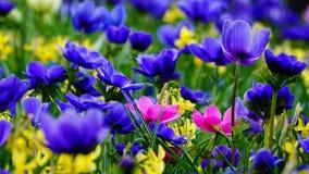 Frühlingsblumen: ein Teppich von blauen annemonae mit den rosa und gelben Akzenten lizenzfreie stockbilder
